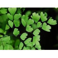 Adiantum capillus veneris extract, INCI: Adiantum Capillus Veneris Leaf Extract