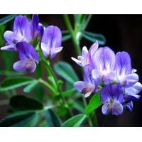 Alfalfa Extract, Medicago sativa Extract  Made in Korea