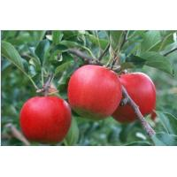 Apple extract, Apple fruit extract, Apple Polyphenols  Made in Korea