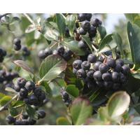 Black Chokeberry Extract,  Aronia Extract, Aronia Melanocarpa Anthocyanin, Aronia Chokeberry Extract  Made in Korea