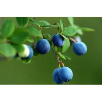 Blueberry Extract, Blueberry Leaf Extract  Made in Korea