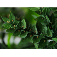 Butcher's Broom P.E., Ruscus aculeate Extract  Made in Korea