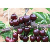 Cherry Extract, Tart Cherry Extract, Black Cherry Extract, Prunus serotina fruit juice powder, Cherry Stem Extract, Acerola Extract  Made in Korea