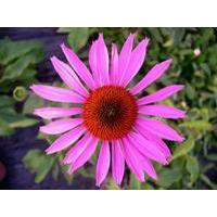 Echinacea purpurea P.E., Echinacea purpurea Extract, Cichoric acid, Echinacosides  Made in Korea