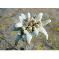 Edelweiss Extract  Made in Korea