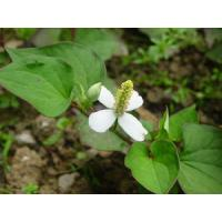 Fish mint Extract, Fishwort Extract, Herba Houttuyniae Extract  Made in Korea