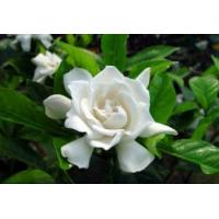 Fructus Gardenia Extract, Gardenia Extract, Geniposide  Made in Korea