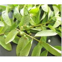 Guava Leaf extract  Made in Korea