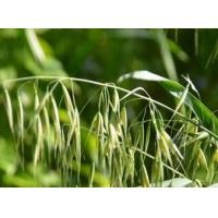 Herb of Wild Oat Extract, Oat Extract  Made in Korea
