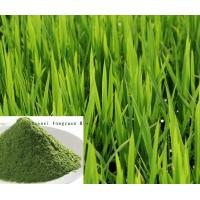 Hot sell Barley Grass Extract, Wheat grass Extract 10:1 TLC  Made in Korea