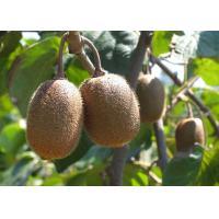 Kiwi fruit extract, Kiwi fruit PE., Kiwi fruit powder  Made in Korea