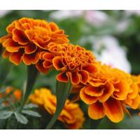 Lutein, xanthophyll, Marigold Extract  Made in Korea