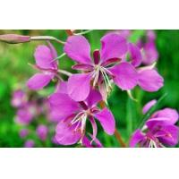 Willowherb extract  Made in Korea