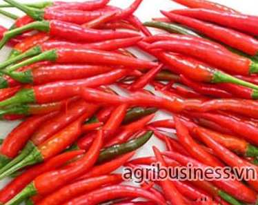 Chillis _ Agribusiness.vn