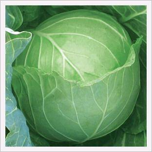 Cabbage, Jeil Speed