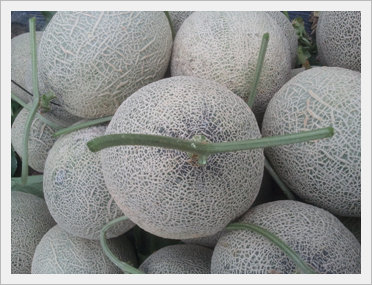 [Fruit-vegetables] Musk Melon for Export