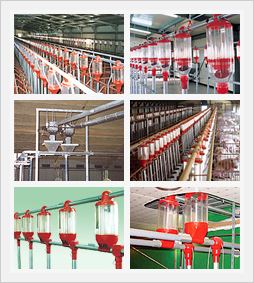 Piggery Limited Feeding System