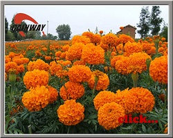 Herbal extract, Marigold Extract, Lutein 5% - 80%  Made in Korea